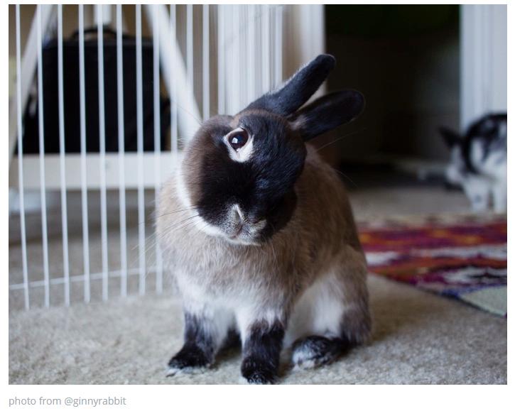 กระต่ายหัวเอียง